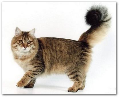 Сибирская кошка .