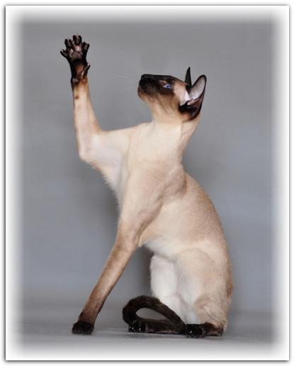 Сиамская порода кошек .