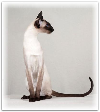 Сиамская порода кошек