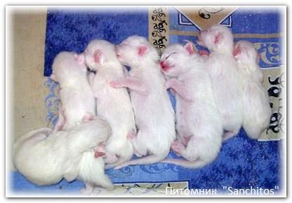 котята тайской породы фото