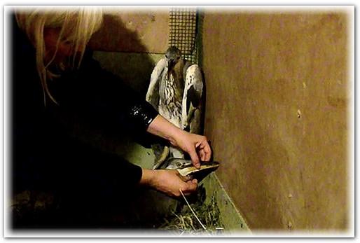 спасение птенцов